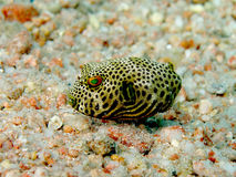Baby Starry Puffer Stock Images
