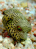 Baby Starry Puffer Stock Photography