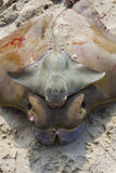 Baby stingray laying on top of mother Stock Images