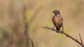 Baby Stonechat on Stem. Male stonechat Saxicola rubicola is perching on thistle with tail feathers open Royalty Free Stock Image