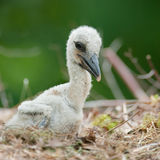 Baby stork Stock Photography