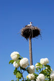 Baby stork in the nest Stock Photo