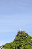 Baby stork in the nest. On top of pine tree Royalty Free Stock Photos