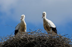 Baby Stork. Two baby of a stork in nest Royalty Free Stock Images