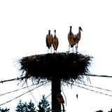 Baby storks in the nest in the middle of the summer. Typical landscape in Transylvania, Romania. Landscape in midsummer Stock Photography