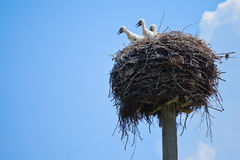 Baby storks in the nest. Baby storks in the wild Stock Images