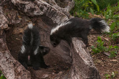 Baby Striped Skunk (Mephitis mephitis) Checks on Sibling Royalty Free Stock Images