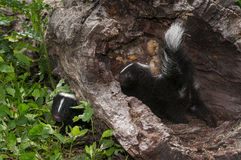 Baby Striped Skunk (Mephitis mephitis) Explore Log Royalty Free Stock Images
