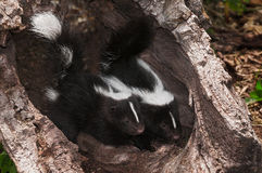 Baby Striped Skunk (Mephitis mephitis) Kits Peer Out of Log Stock Photography
