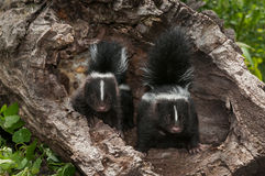 Baby Striped Skunk (Mephitis mephitis) Kits with Tails Up Royalty Free Stock Photos