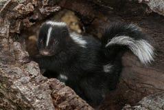 Baby Striped Skunk (Mephitis mephitis) in Log Stock Photos