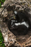Baby Striped Skunk (Mephitis mephitis) Look Left in Log Stock Photos