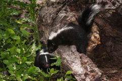 Baby Striped Skunk (Mephitis mephitis) Looks Over Log at Other Stock Photography