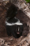 Baby Striped Skunk (Mephitis mephitis) Stands Inside Log Royalty Free Stock Photo