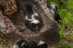 Baby Striped Skunks (Mephitis mephitis) Around Log Royalty Free Stock Photo