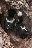 Baby Striped Skunks (Mephitis mephitis) Come Out of Log Royalty Free Stock Images