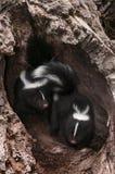 Baby Striped Skunks (Mephitis mephitis) Explore Log. Captive animals Stock Photography