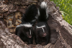 Baby Striped Skunks (Mephitis mephitis) Look Out from Log Stock Image