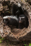 Baby Striped Skunks (Mephitis mephitis) Look Out of Log. Captive animals Stock Photos