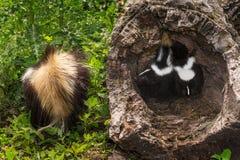 Baby Striped Skunks (Mephitis mephitis) Mother Tail Forward. Captive animals Stock Image