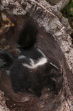 Baby Striped Skunks (Mephitis mephitis) Nose About in Log Stock Images