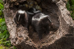 Baby Striped Skunks (Mephitis mephitis) with Sibling. Captive animals Royalty Free Stock Images