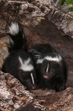 Baby Striped Skunks (Mephitis mephitis) Sit in Log Royalty Free Stock Photo