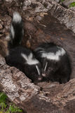 Baby Striped Skunks (Mephitis mephitis) Touch Noses Stock Photo