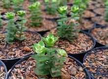 Baby succulent with cutting propagation stock photo