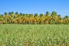 Baby sugar cane Stock Image