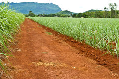 Baby sugarcane farm Stock Photo