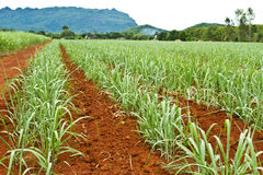 Baby sugarcane farm Royalty Free Stock Photos