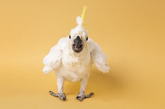 Baby Sulfur Crested Cockatoo Isolated on Yellow Royalty Free Stock Photography