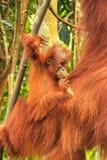 Baby Sumatran-Orang-Utan nahe bei seiner Mutter n Gunung Leuser Natio Stockfotos