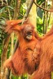 Baby Sumatran-Orang-Utan nahe bei seiner Mutter n Gunung Leuser Natio Stockfotografie