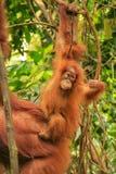 Baby Sumatran-Orang-Utan nahe bei seiner Mutter n Gunung Leuser Natio Lizenzfreie Stockbilder