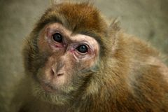 Baby Sumatran Orangutan Stock Photos