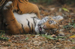 Baby Tiger Royalty Free Stock Images