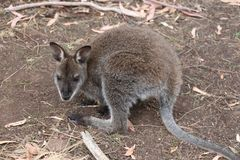 Baby-Sumpf-Wallaby Tasmanien Lizenzfreie Stockfotografie