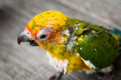 Baby Sun Conure Parrot on the wooden background Royalty Free Stock Photo