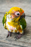 Baby Sun Conure Parrot on the wooden background Stock Photography