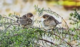 Baby Superb Fairy Wrens Just Out of Nest. Two Superb Fairy Wrens have just left the nest. The superb fairywren is a passerine bird in the Australasian wren Royalty Free Stock Photography