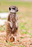 Baby Suricate. Standing upstraight in the sunshine to look for danger Royalty Free Stock Photo