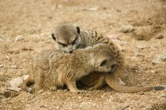 Baby suricates snuggling Stock Image