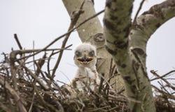 Baby Swainson Hawk. In nest Saskatchewan Canada Royalty Free Stock Photos