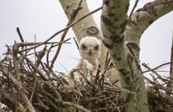 Baby Swainson Hawk Royalty Free Stock Images