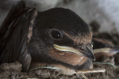 Baby Swallow Royalty Free Stock Photo