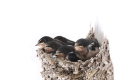 Baby swallow. 5 lovable baby swallows are in mud nest stock photos