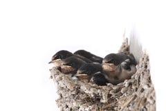 Baby swallow Stock Photos