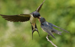 A Baby Swallow (Hirundo rustica) being fed by a parent in flight. A Baby Swallow (Hirundo rustica) is perched on a small branch as it is fed by a parent that is stock photography